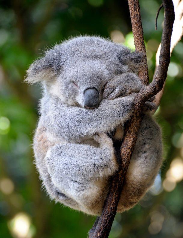 100. Sleepy Koala