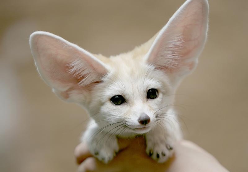 26. Cool Fennec Fox