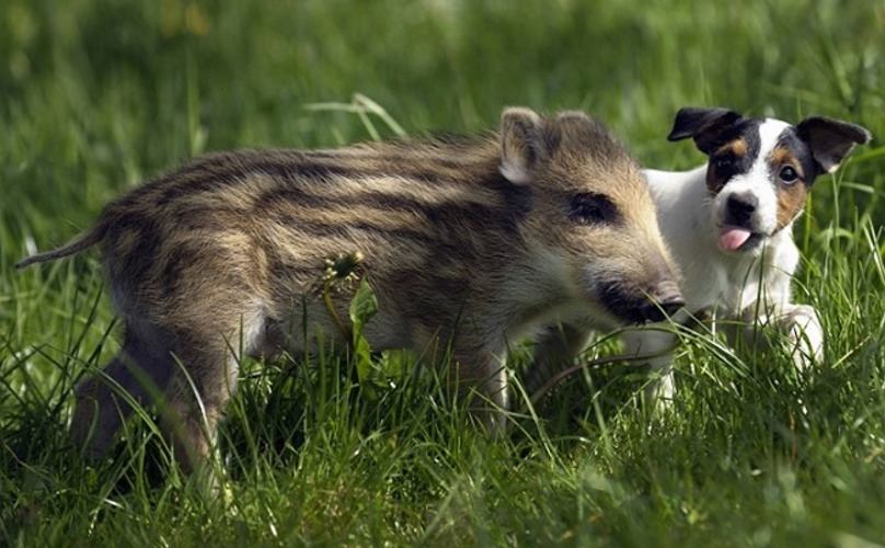 27. Little Pig and Dog