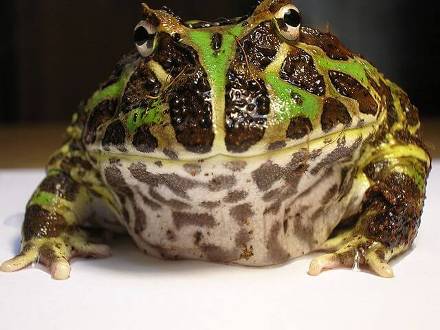 28. Pacman Frog