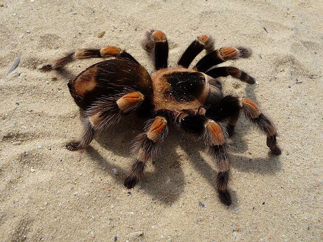 29. Beautiful Tarantula
