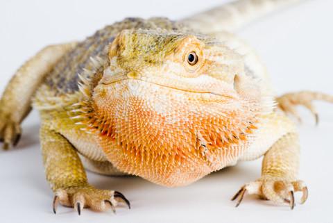 30. Cute Bearded Dragon