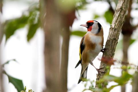 31. GoldFinch Bird