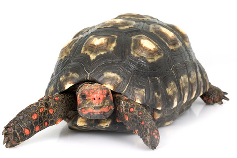 32. Red Footed Tortoise