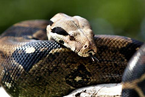 34. Boa Constrictor
