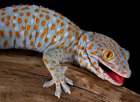 35. Tokay Gecko