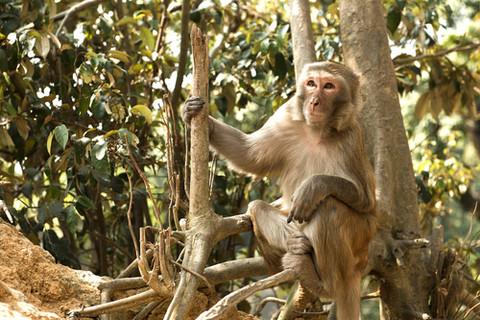 36. Rhesus Macaque