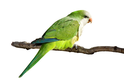 37. Cool Monk Parakeet