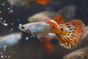 39. Cool Guppy Fish